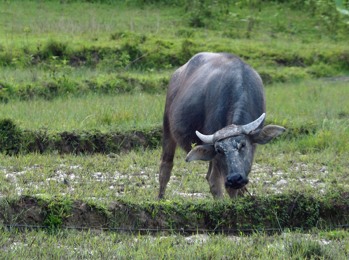 buffalos animal - el nido, palawan