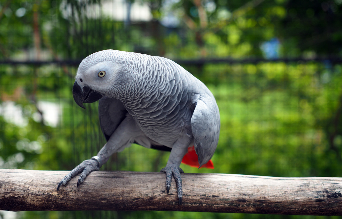 grey_parrot_resort_moalboal