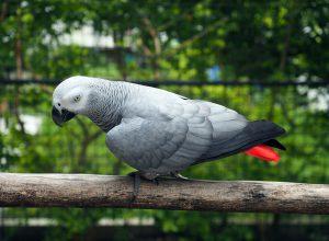photo_grey_parrot_resort_moalboal_cebu