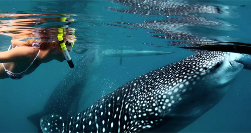 swimming_with_sharks_in_oslob