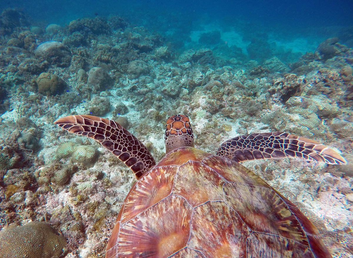 turtle_moalboal_cebu
