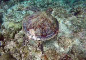 turtle_moalboal_cebu_philippines
