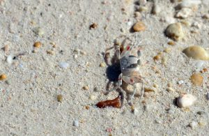 photo_crab_on_the_beach_philippines