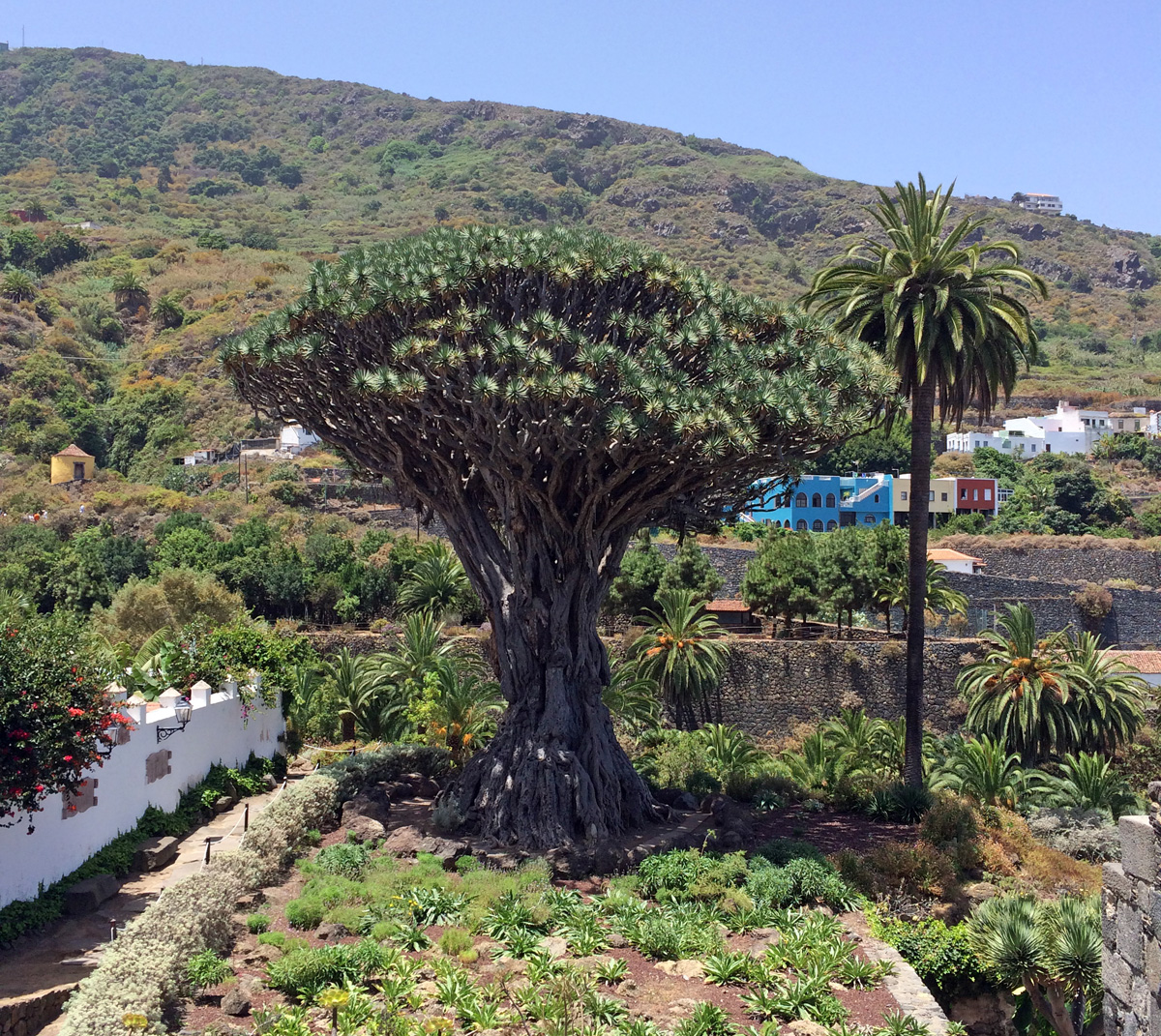 dragon_tree_tenerife