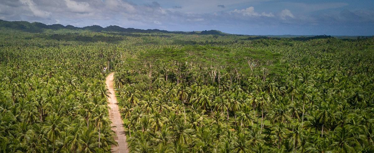 palm_tree_siargao